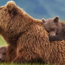 Uccisione orsa Daniza