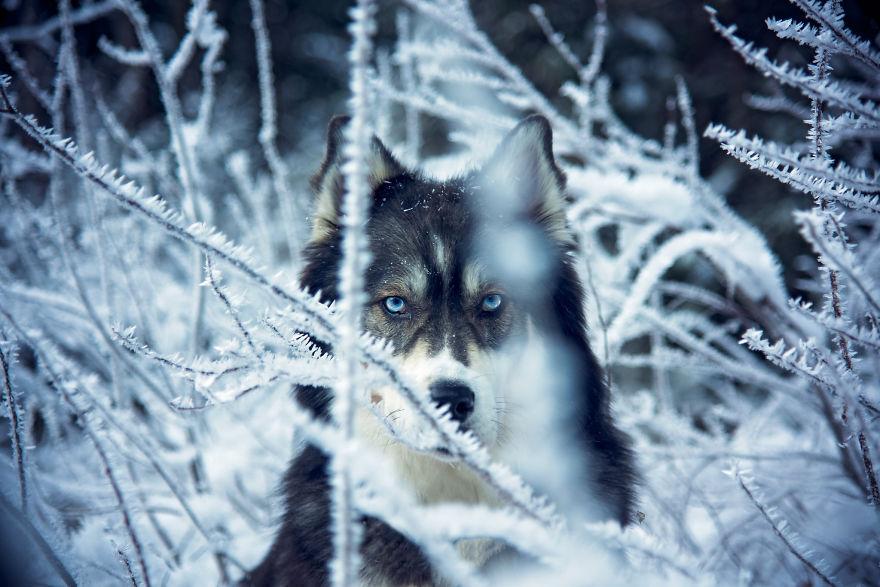 """""""Ho adottato un husky di nome Kyro, ma il cane non sapeva che sarebbe arrivato a salvarmi."""""""