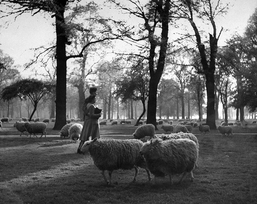 Un soldato statunitense passeggia con la fidanzata tra le pecore a Kensington Gardens, uno dei Parchi Reali di Londra, 1945. Ralph Morse