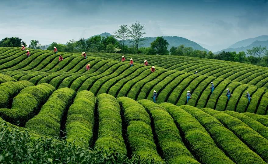"""""""Ripples In Tea"""" di Hong Ding. Tempo di raccolta nella piantagione ecologica di tè nel villaggio Jinlu della provincia di Zhejiang in Cina."""
