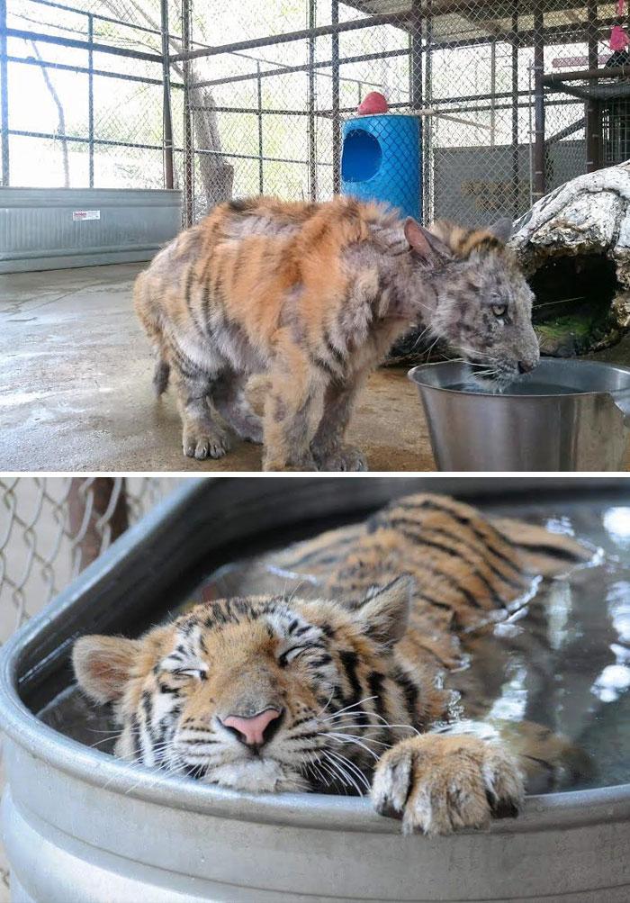 Un cucciolo di tigre malato, il cui peso era sotto di un quarto di quello normale, è stato salvato dal circo in cui si trovava. Piccola e dovuta riflessione. Quando saranno del tutto aboliti i circhi che prevedono l'utilizzo di animali?